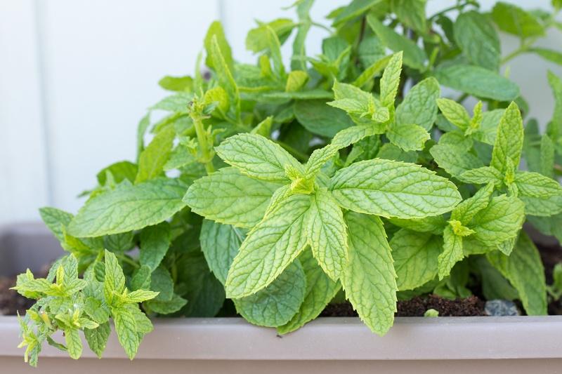 my homegrown mint